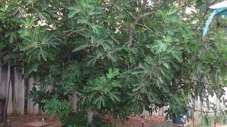 , Oldest tree