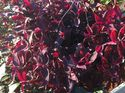 q what is the best way to winter a wandering jew plant