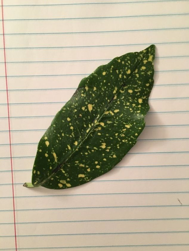q what kind of plant is this leaf from