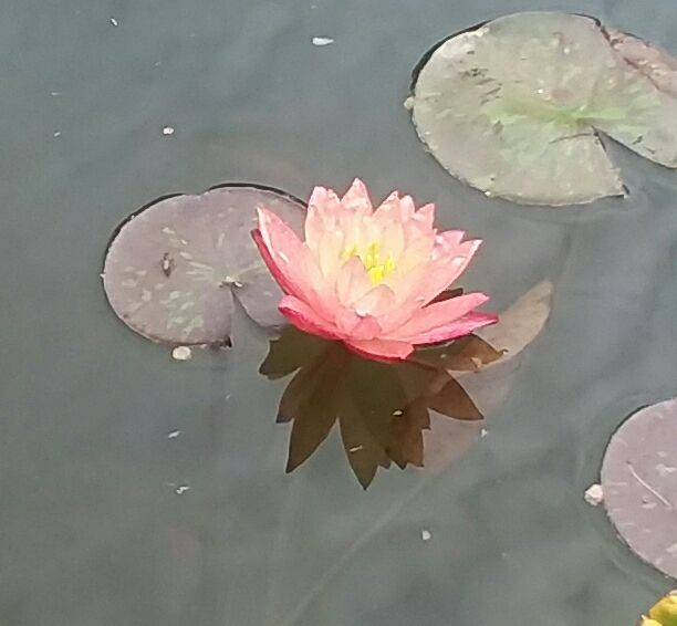 Our Living Waterlily