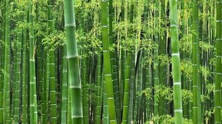 , Bamboo plant showing wood part