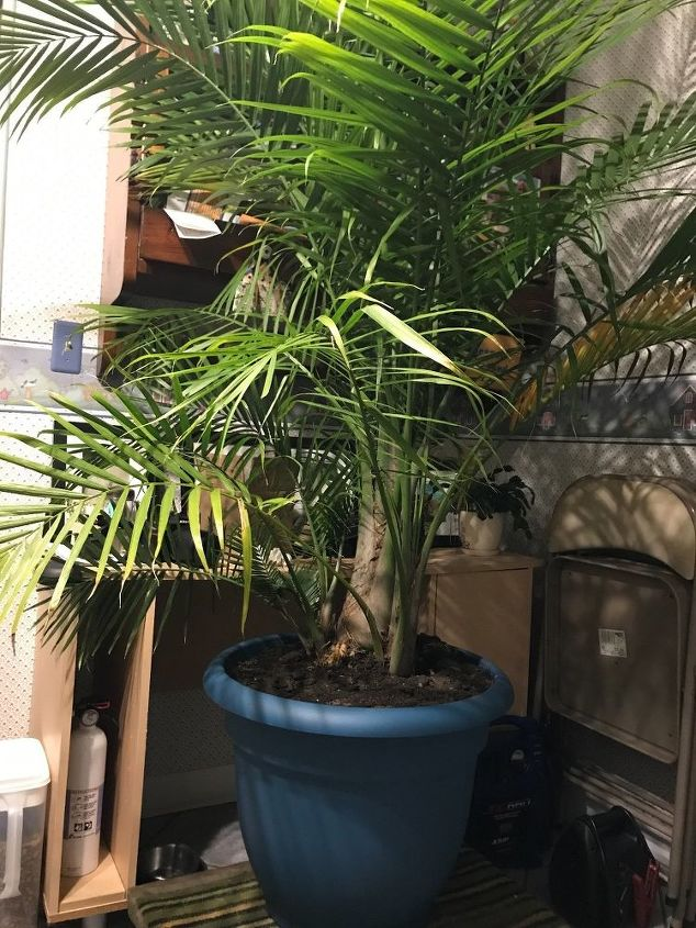 q we have a palm in our garden what do i need to do to bring it inside