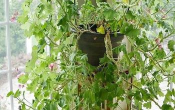 How To Prune Leggy, Overgrown Geraniums