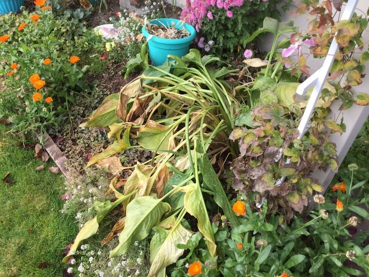 q peace lilies what to do for winter