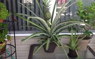 grow your own pineapple at home