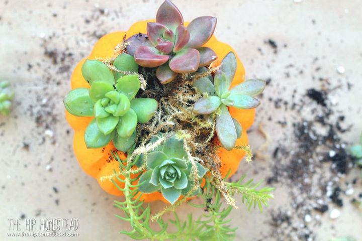 how to make mini pumpkin succulent planters