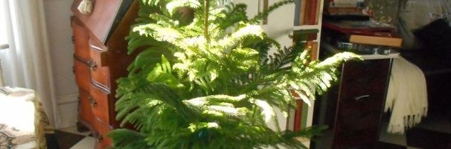 q how to care for norfolk pine