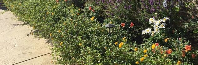 q should lantana be cut back to the ground for the winter