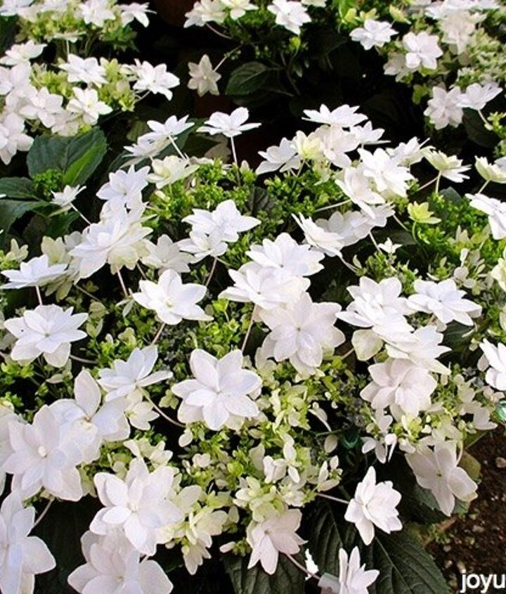 a touch of elegance white blooming plants for christmas