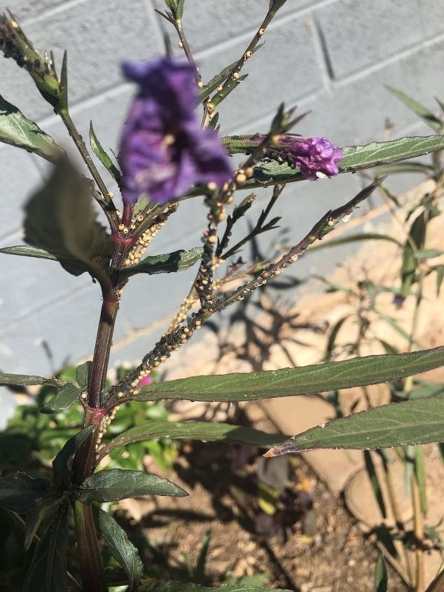q are these aphids on my mexican petunia