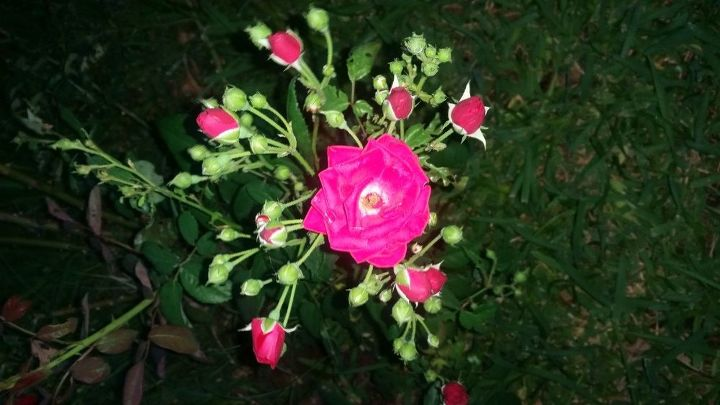q what supplements to help an old rosebush