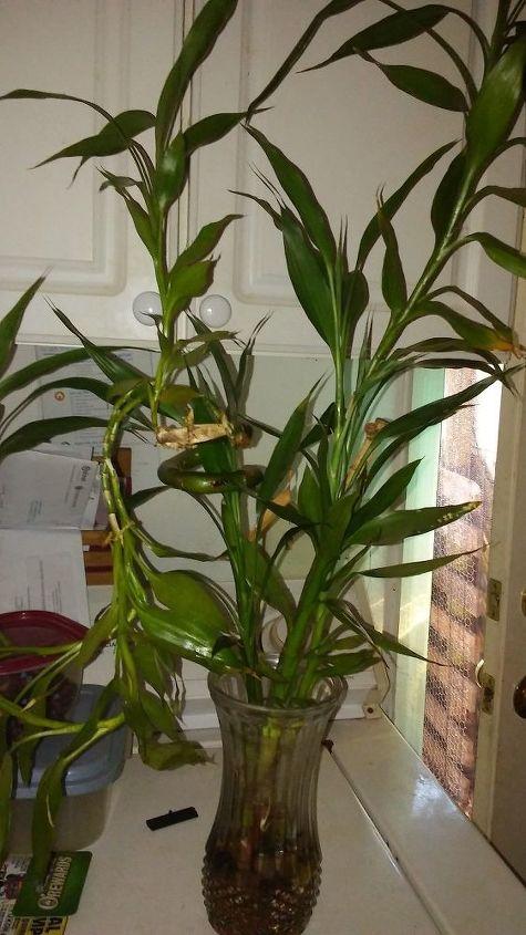 q bamboo plant yellowing