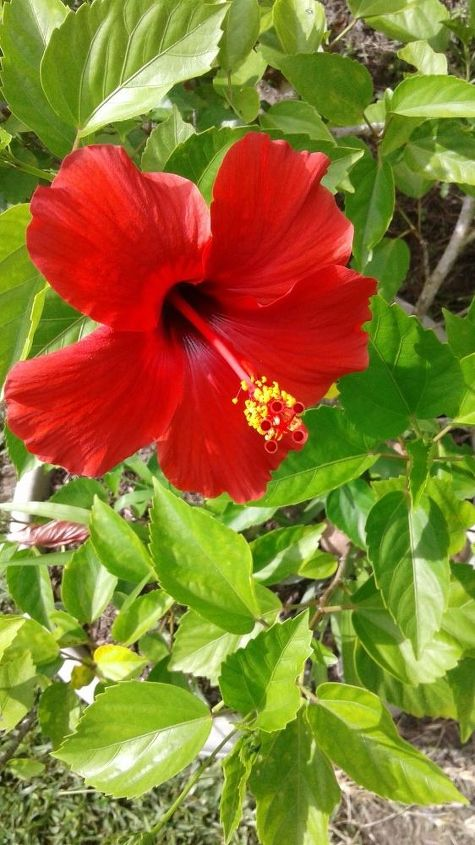 q how can i make hibiscus plants come back to life after southern freeze