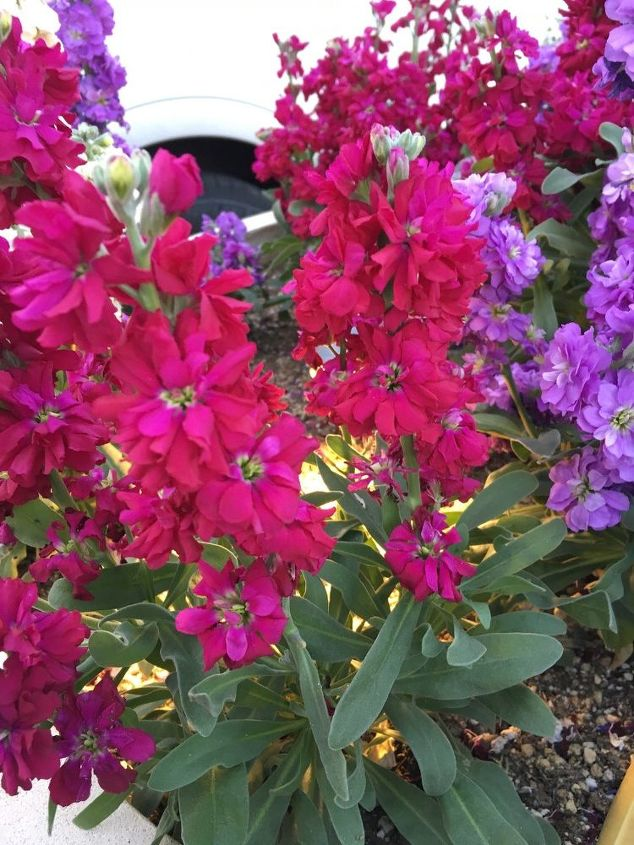 q anyone know what these flowers are saw them in las vegas thanks