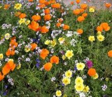 how to grow poppies