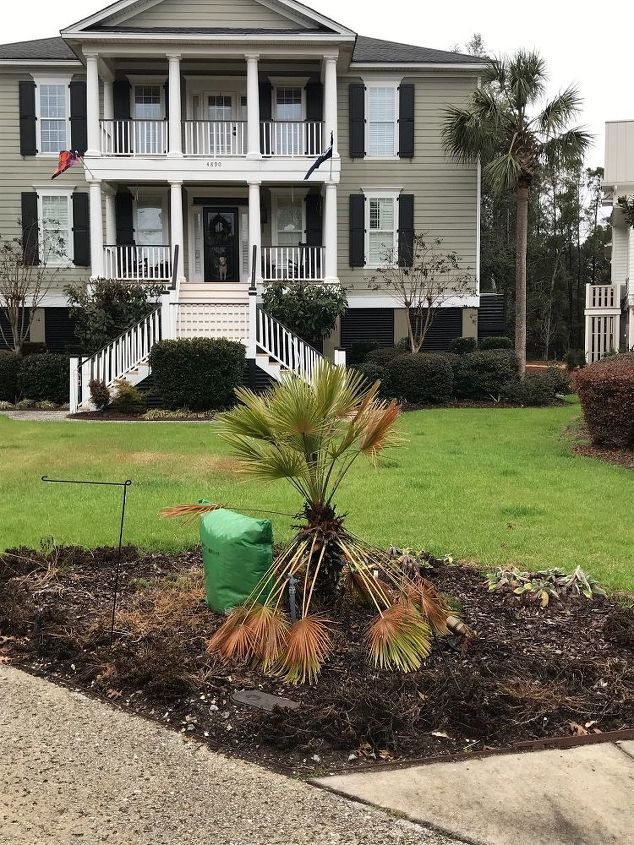 q replant a palm or go back to grass