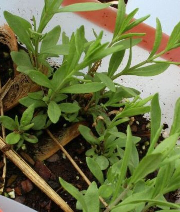 Lavender is very easy to germinate with WSing