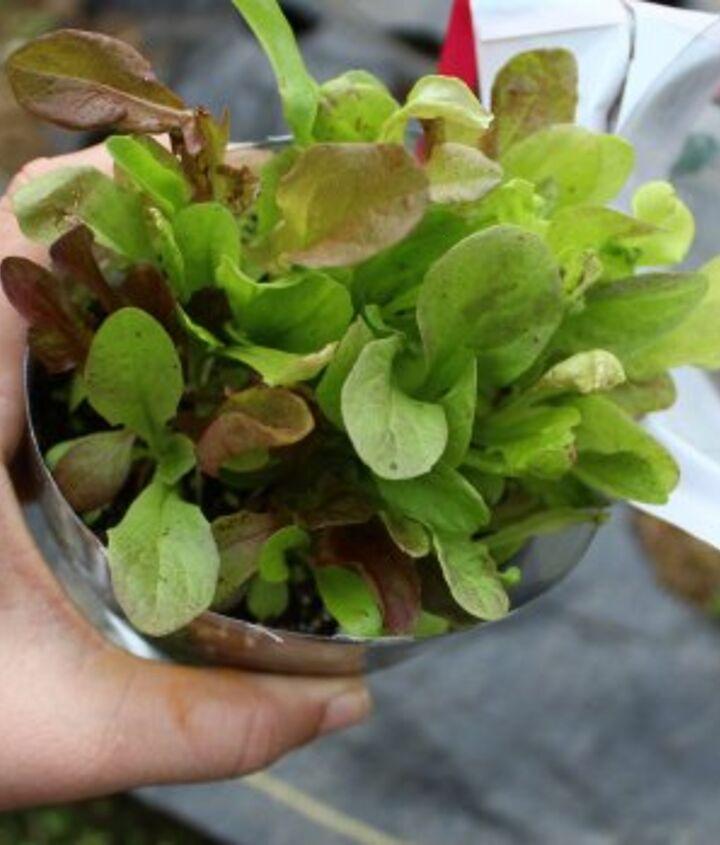 Beautiful lettuce transplants