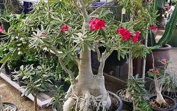How to Repot a Beautiful Adenium (Desert Rose)