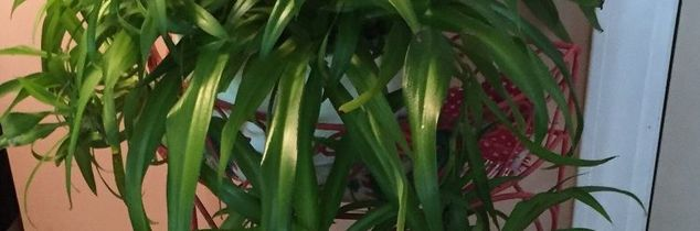 q how do you divide a spider plant that is out growing its pot