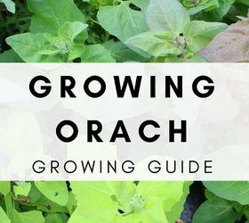 Growing Orach In The Spring And Fall Vegetable Garden For Beginners