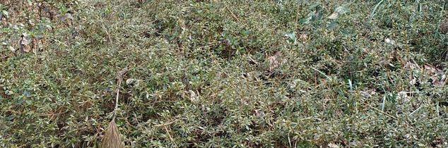 q is it ok to move these azaleas