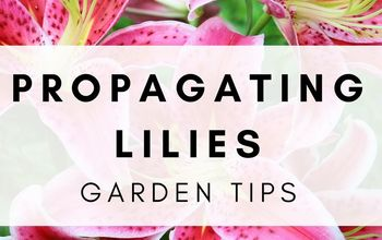 Propagating Lily Bulbs! Grow More Gorgeous Lilies for Less Money!