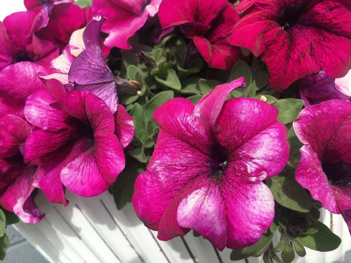 q my container petunias are blooming with white streaks