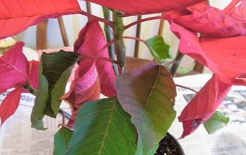 Poinsettas Are  Pretty Plants Year Round: Tips for Care