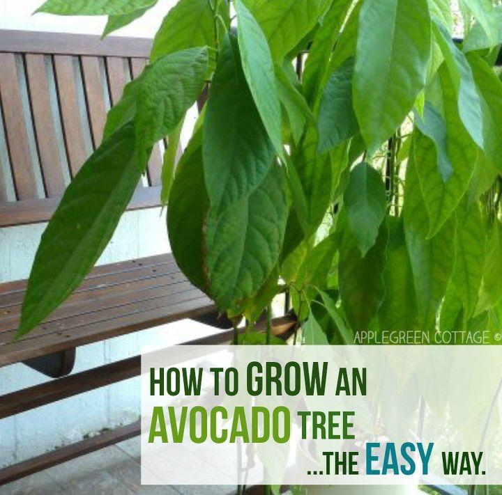 how to grow an avocado tree the lazy way
