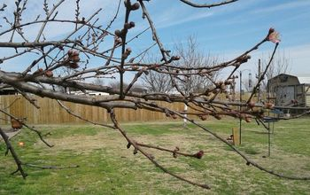 early spring stone fruit tree pruning