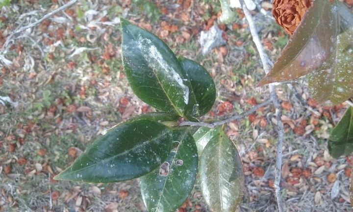 q please give suggestions to save my camellias