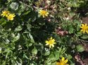q i have a perennial weed with yellow flowers and waxy stems they pop ip
