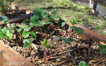 companion planting herbs and strawberries
