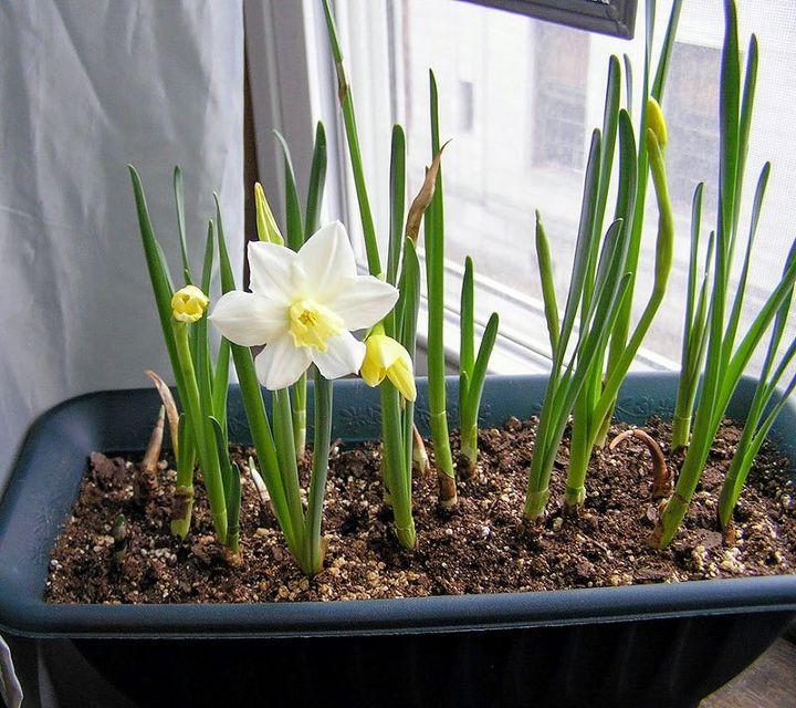 growing bulbs indoors