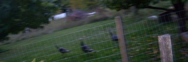 q how to keep wild turkeys out of the garden