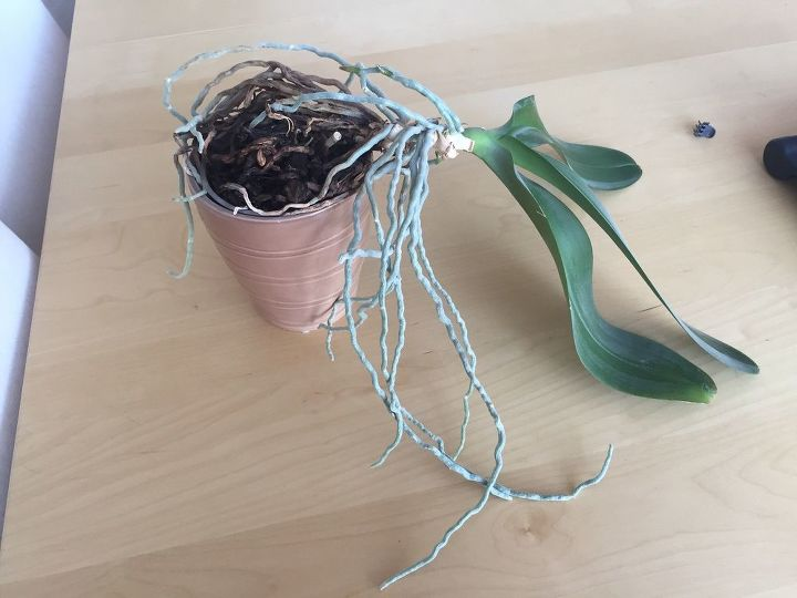 q how can i transfer my orchid
