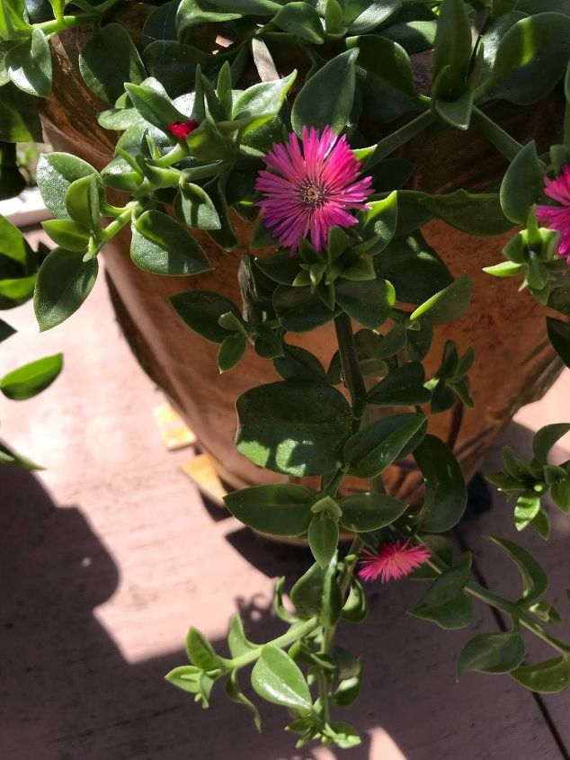 q does anyone know what this plant is has succulent type leaves
