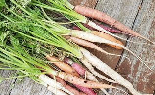 growing rainbow carrots from seed to harvest in raised planters