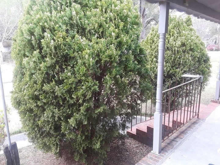 q how can these overgrown evergreens be prunned back without killing the