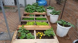 , The first separation is strawberries and then there are cucumbers carrots squash Tomatoes watermelon and cantaloupe The marigolds keep the bugs away