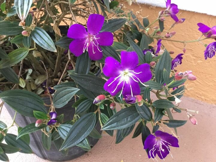 q need help in identifying this flowering plant