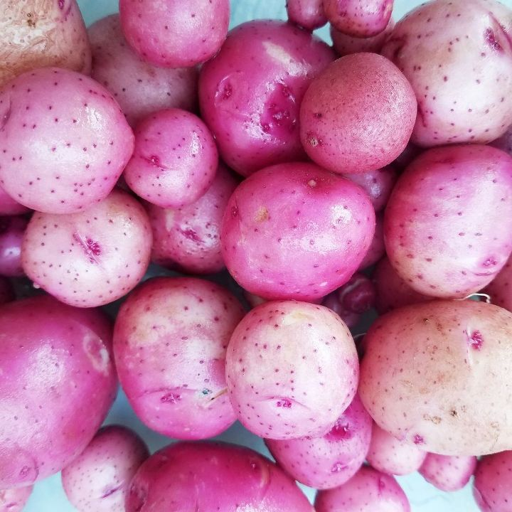 red new potato tips from seed to harvest