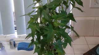 , Here is one of my sweet potatoes he is going in ground tomorrow