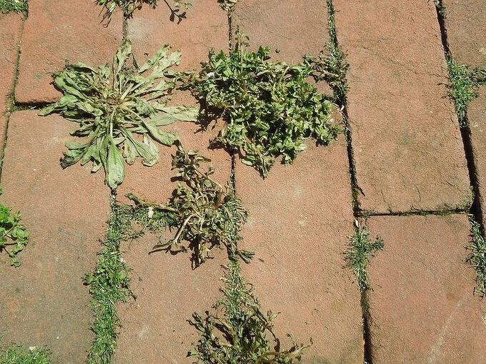 a natural method for killing weeds, The weeds are already dying after 1 1 2 hour