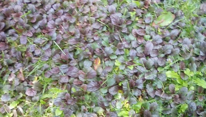 q how to get rid of what i believe to be bugle weed in my lawn