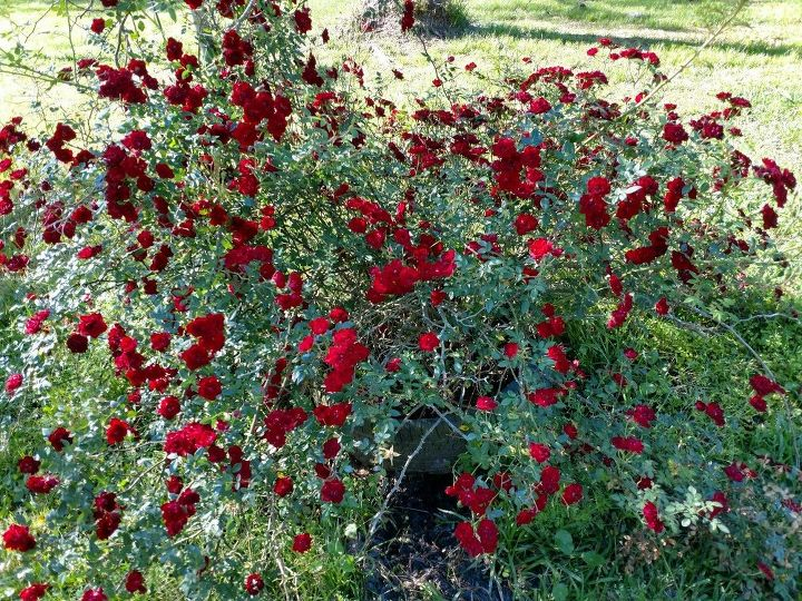 q roses gone wild
