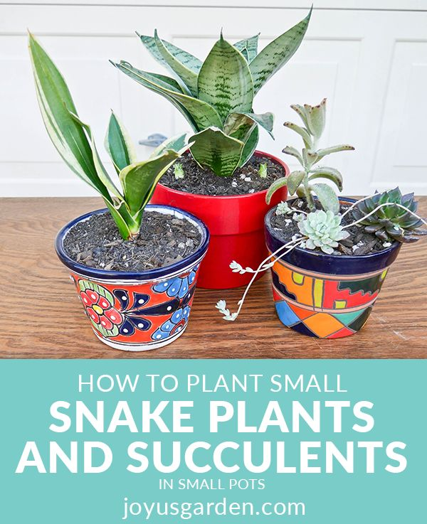 how to plant small snake plants succulents in small pots