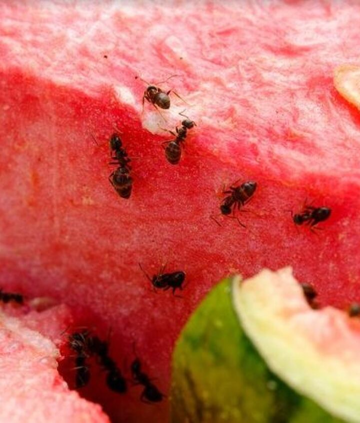 ants safe and effective cure