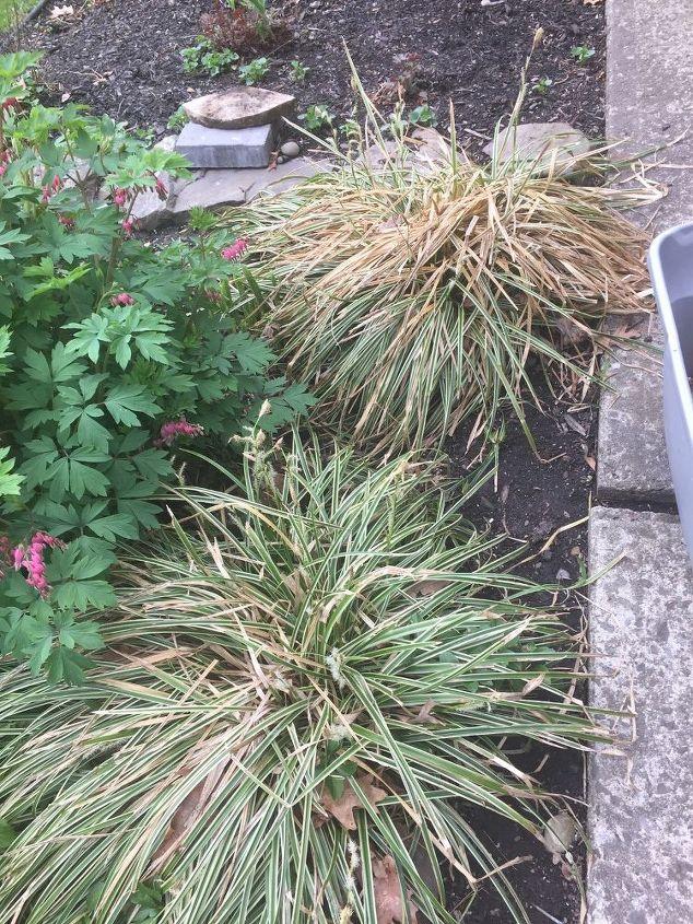 q how to freshen up perennial grass